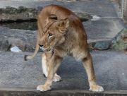 ライオン(メス)
