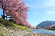 河津川河川敷からの菜の花と河津桜