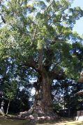 国指定天然記念物の「大楠」
