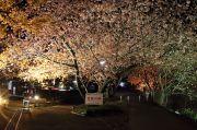 ライトアップされた音蔵桜