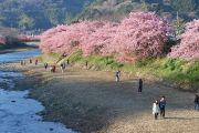 来宮橋から撮影した河津桜