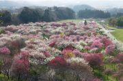 いなべ梅まつりの全景