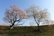 堤防に咲く2本の桜の木