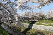 鼎小橋と桜