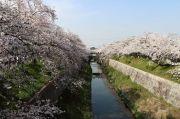 鼎小橋から撮影した山崎川と桜