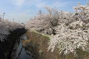 石川大橋からの桜(魚眼レンズ)