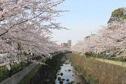 向田橋からの桜