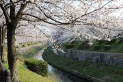 萩山橋からの桜