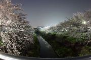 夜桜(左右田橋より)
