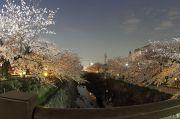 夜桜(かなえ小橋)