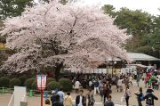 天守閣前の桜と売店