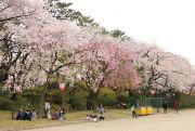 正門から表二之門付近まで続く桜並木