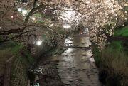 五条川をまたぐ桜のトンネル