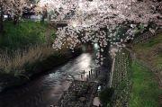 ライトアップされた桜と五条川