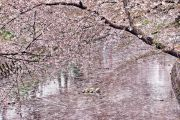 五条川を埋め尽くす桜の花びら(一豊橋)