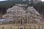 淡墨公園の淡墨桜