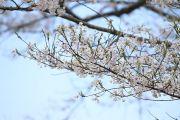 淡墨桜の枝と花びら