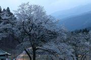 日没直後の淡墨桜