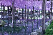 池に映り込んだ藤の花