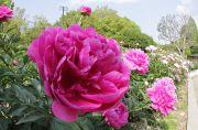 芍薬の花壇