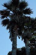 椰子の木の記念樹