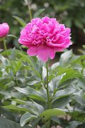 横から見た濃いピンク色の芍薬