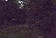 棚田を飛び交う蛍の光