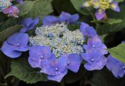 様々な種類の紫陽花も見られます。