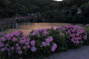 補陀ケ池と紫陽花