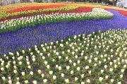 広がる色鮮やかなチューリップ畑