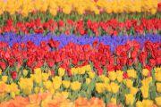 青と赤と黄色のチューリップ畑