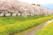 佐奈川の堤防沿いの桜並木と菜の花