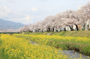 佐奈川と菜の花