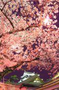 ライトアプされた岡崎城と桜の天井