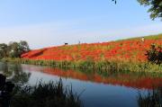 津屋川に映りこむ彼岸花