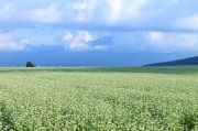 蕎麦の花と南アルプス