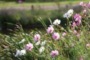 池のほとりに咲いていたコスモスの群生
