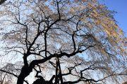 下から見上げる奥山田の桜