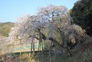 奥山田のシダレザクラ