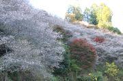 山の壁面に咲き誇る桜