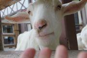 山羊の顔アップ