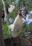 内宮で見かけた鶏