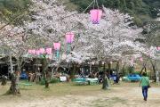 桃太郎神社の桜