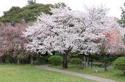 船頭平河川公園の桜