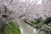御用水跡と桜