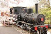 蒸気機関車と桜