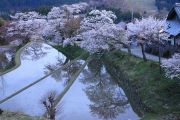 三多気の桜と棚田
