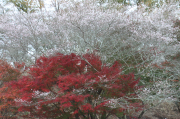 紅葉と桜のコラボ