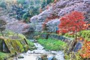 色とりどりの四季桜