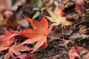 地面に落ちたモミジの葉